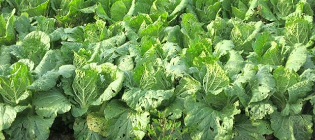 虫食いの野菜もある