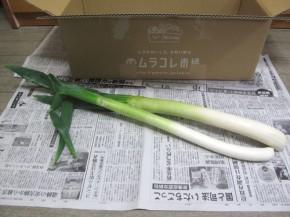 九州ムラコレ市場、長ネギ