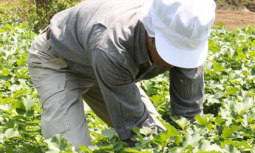 オイシックスの野菜は注文後に収穫